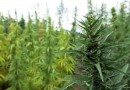 USDA back-peddles on plans to allow organic certification for qualified hemp farmers
